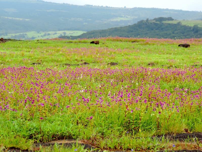 Kaas platå - dal av blommor i maharashtraen, Indien arkivbild