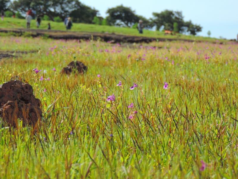 Kaas platå - dal av blommor i maharashtraen, Indien royaltyfri bild