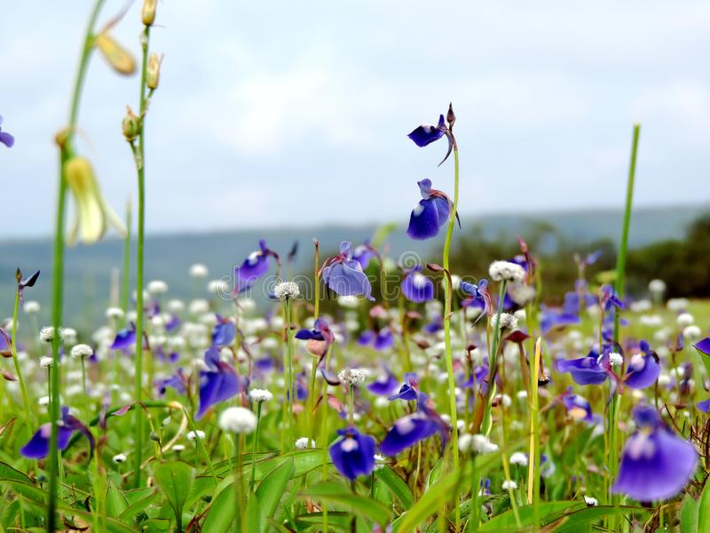 Kaas Plateau - Valley of flowers in Maharashtra, India. Kaas Plateau, located Maharashtra state of India is known for various types of wild flowers which bloom royalty free stock photos