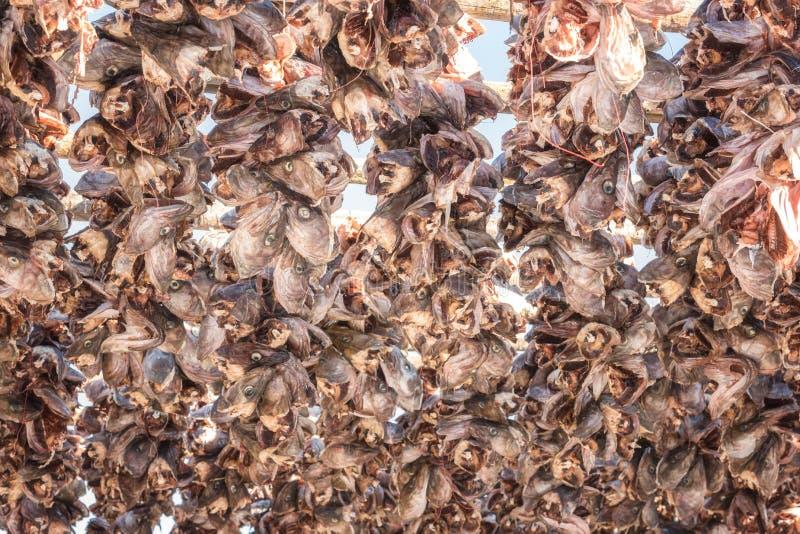 Kabeljau-Kabeljauköpfe, die auf Holzregalen trocknen Stockfisch von Lofoten, Skrei, Norwegen stockfotos