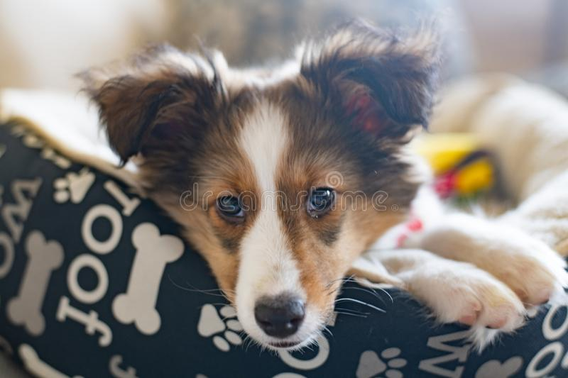 Kacey the Sheltie lays in her bed. Kacey the Shetland Sheep Dog relaxes in her bed as her photoshoot begins stock photos