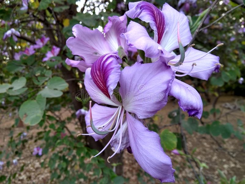 Kachanaar flower stock photo