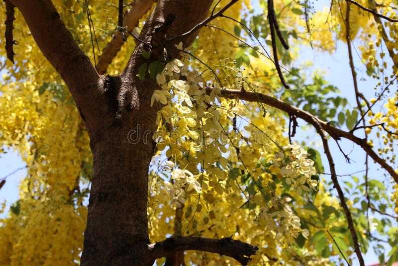 Kachiusaträdblom över hela det så härliga trädet, så attraktivt fotografering för bildbyråer