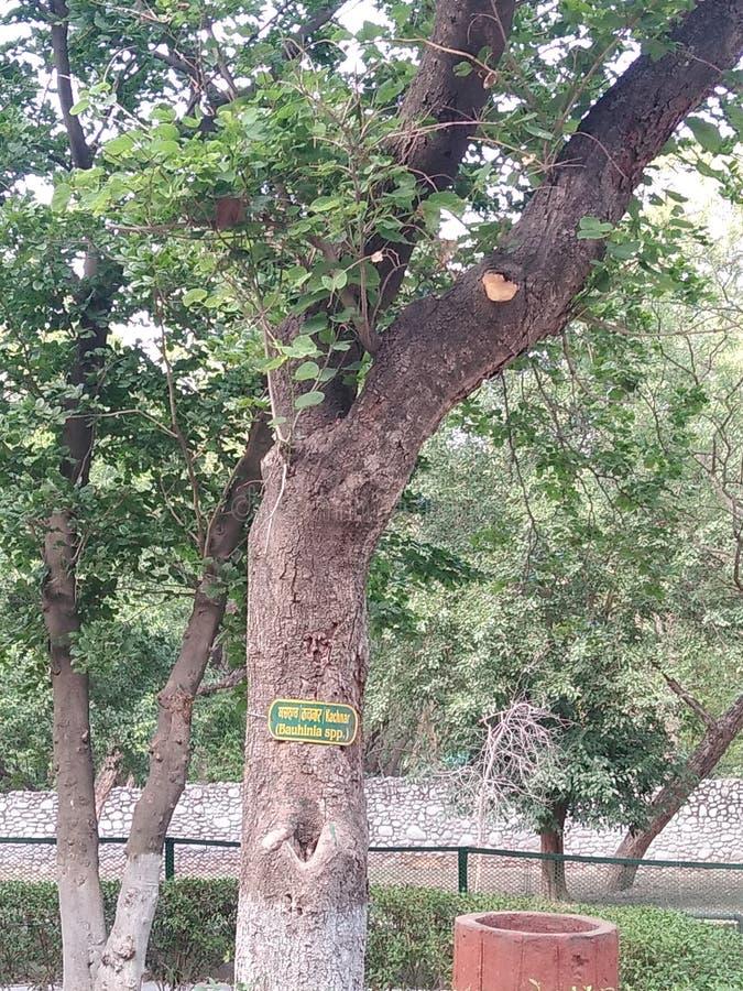 Kachnar, árbol del variegata del bauhinia, la India imágenes de archivo libres de regalías