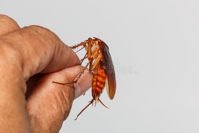 Kackerlacka i handtag royaltyfri bild
