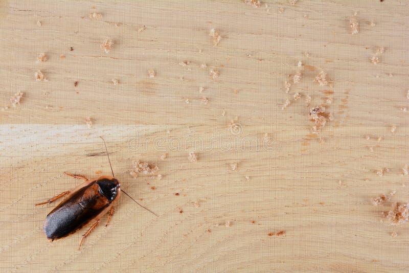 Kackerlacka i köket Problemet är i huset på grund av kackerlackorna arkivbild