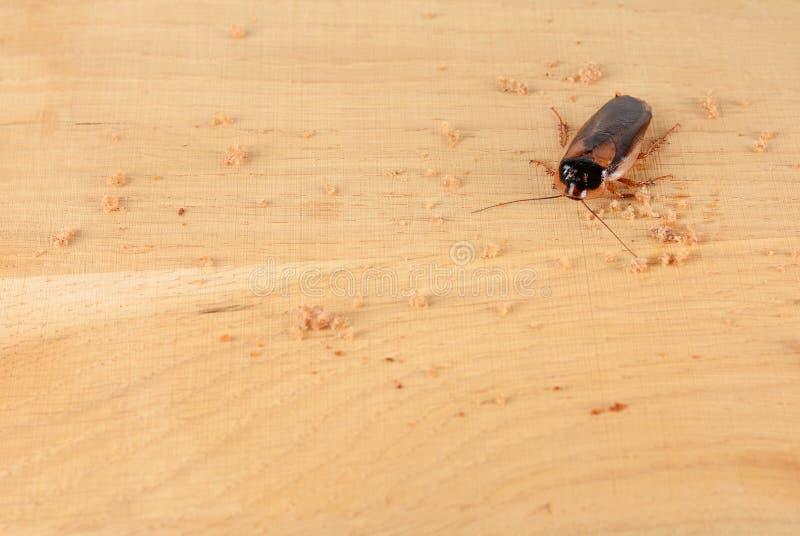 Kackerlacka i köket Problemet är i huset på grund av kackerlackorna royaltyfria bilder