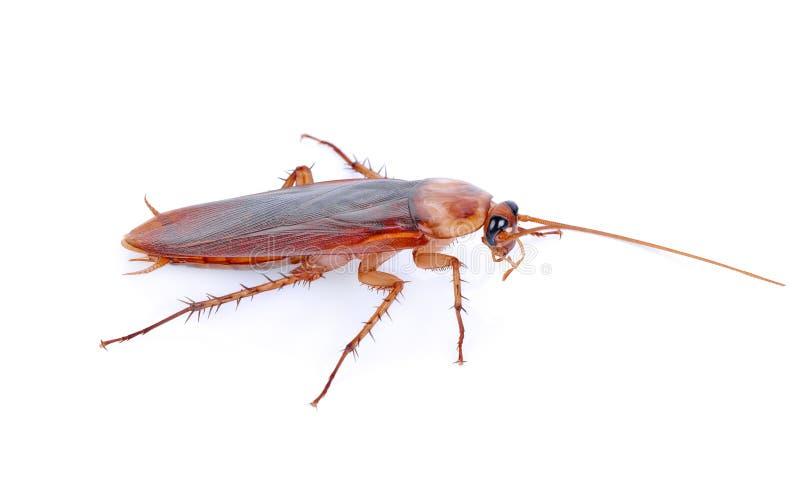 Kackerlacka som isoleras på en vit bakgrund arkivfoton