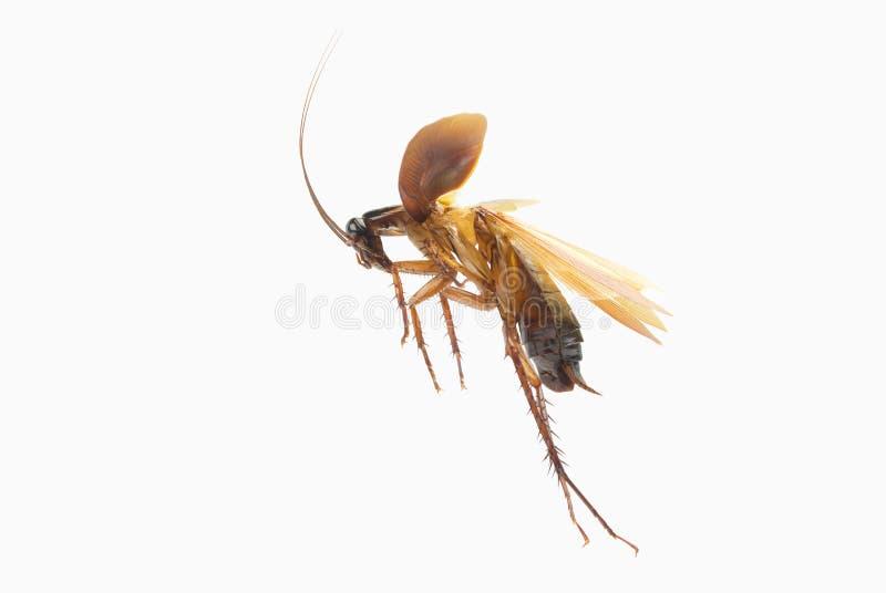 Kackerlacka som isoleras på vitbakgrund royaltyfri bild