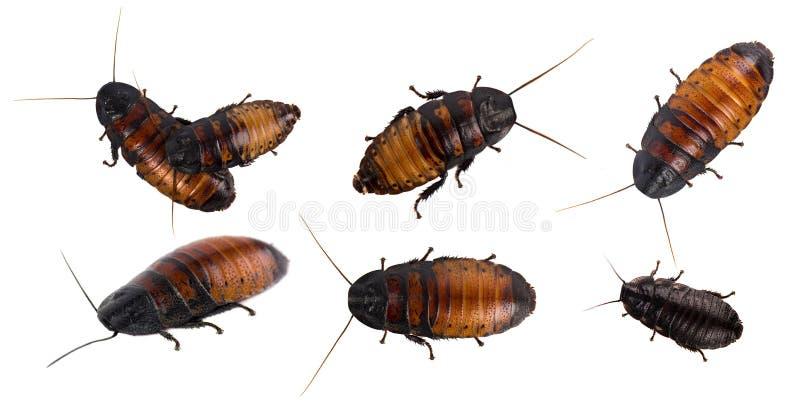 Kackerlacka som isoleras på vitbakgrund arkivfoto