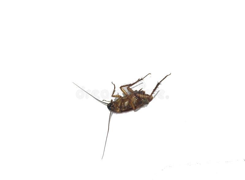 Kackerlacka som isoleras p? vitbakgrund royaltyfri bild