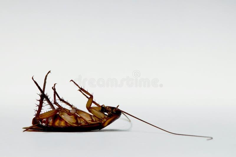 Kackerlackadöda på dess baksida som isoleras på vit bakgrund arkivbilder