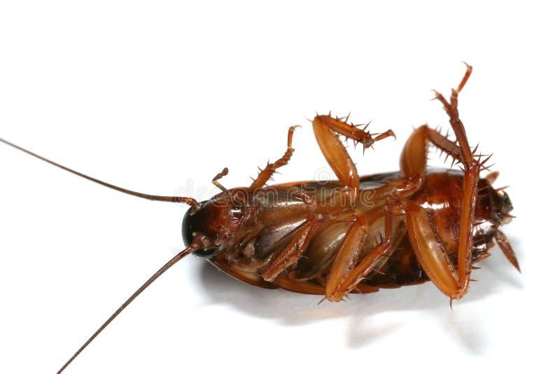 kackerlackamakro royaltyfria foton