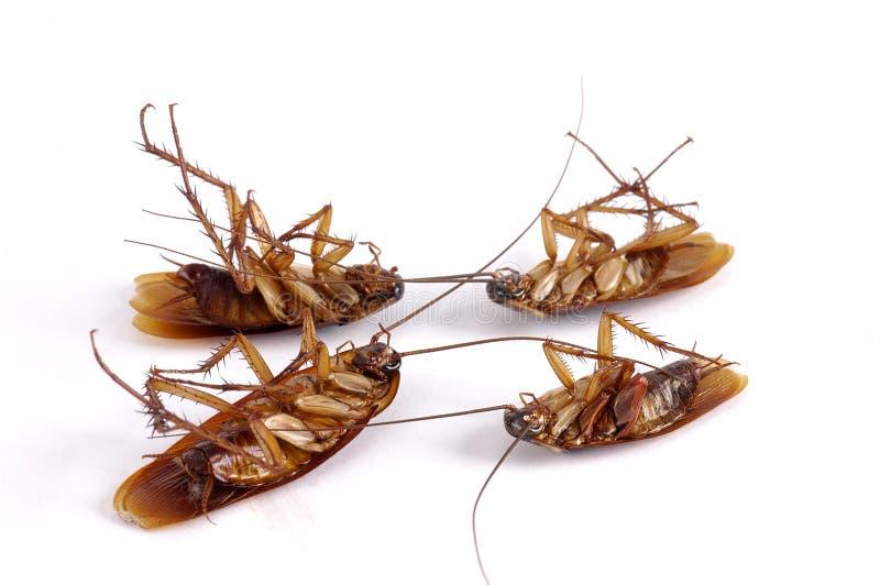 kackerlackor döda fyra royaltyfri bild