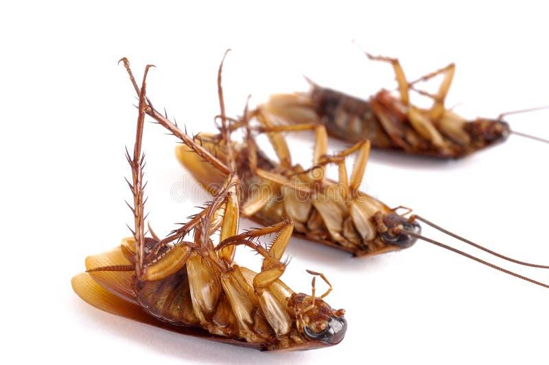 kackerlackor döda tre royaltyfri bild