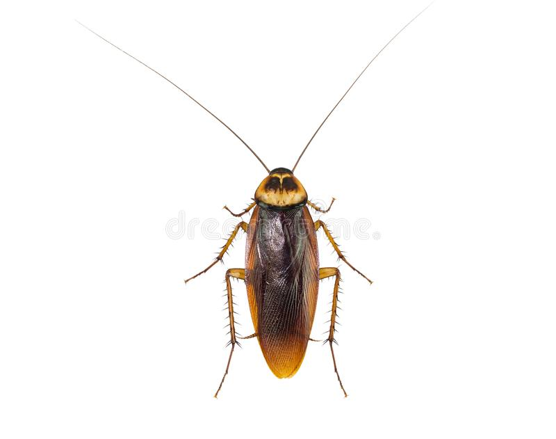 Kackerlackor på vit bakgrund arkivfoto