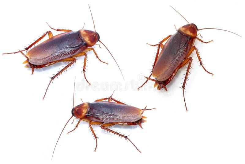 Kackerlackor på vit bakgrund royaltyfria bilder