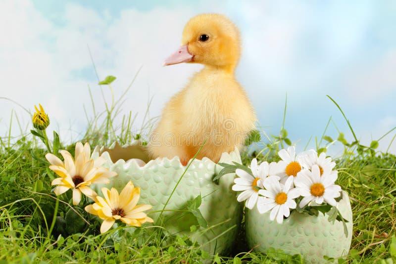 kaczątka Easter podglądanie obrazy royalty free