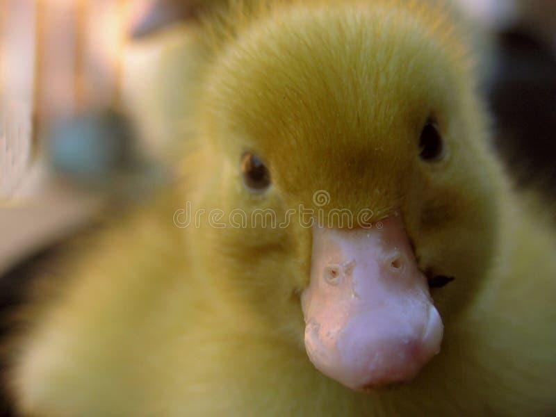 Download Kaczątka fluffy się bliżej zdjęcie stock. Obraz złożonej z kaczka - 30954