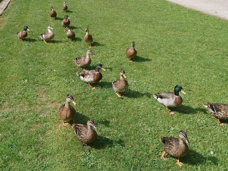 kaczek kaczki nast?puje przyw zdjęcia stock