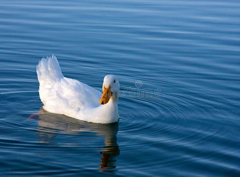 kaczka biel zdjęcie royalty free