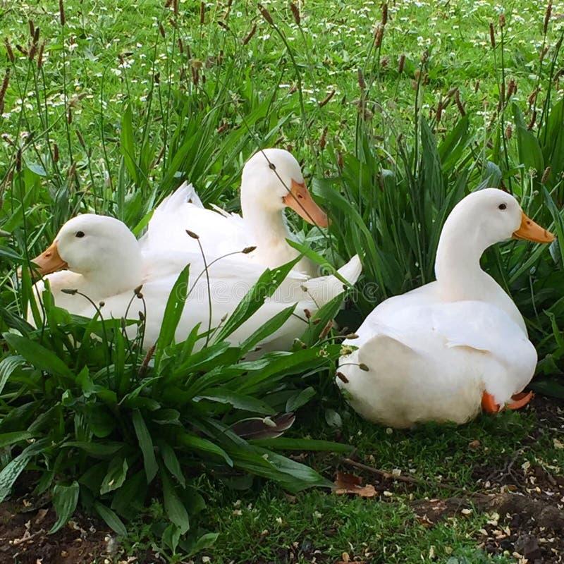 kaczka biel trzy obraz royalty free
