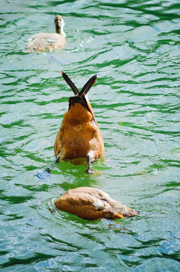 Kaczka bierze jedzenie spod wody obraz stock