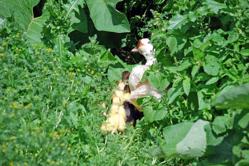 Kaczka bierze oddalonych kaczątka w zwartych krzakach kryjówka zdjęcia stock