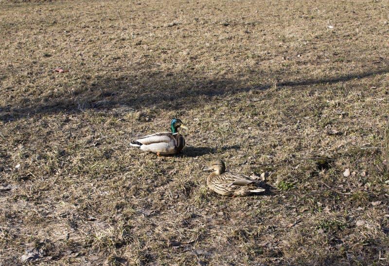 Kaczka chodzi na trawie w parku fotografia royalty free