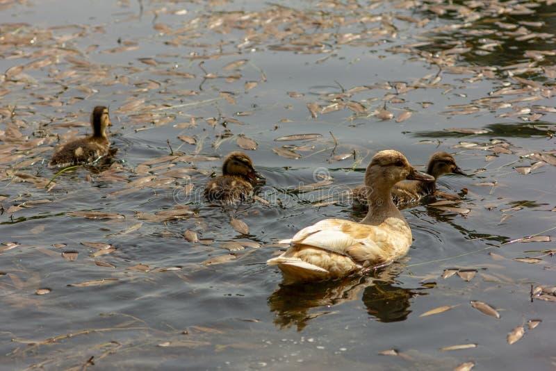 Kaczka jest pospolitym imieniem znacząco liczba anseriform ptaki, ogólny emigracyjna, należenie Anatidae rodzina zdjęcia stock