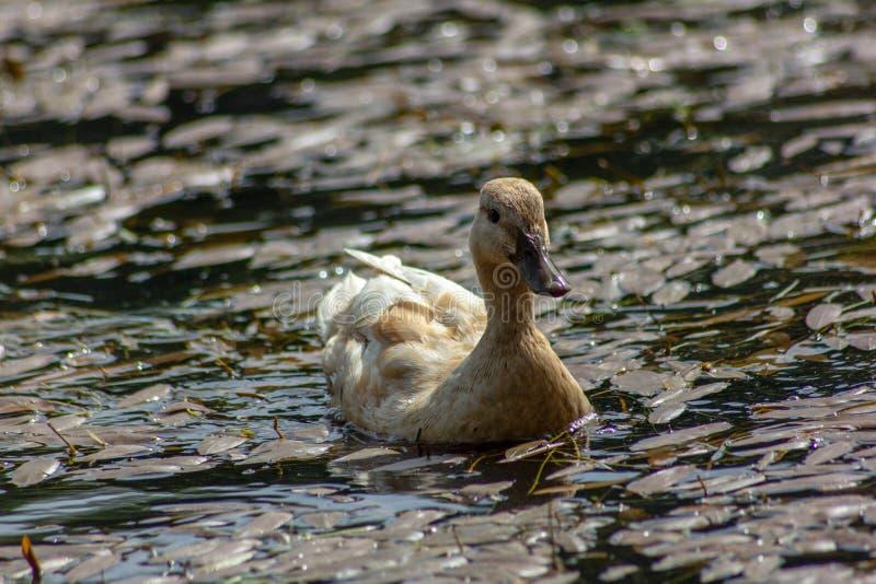Kaczka jest pospolitym imieniem znacząco liczba anseriform ptaki, ogólny emigracyjna, należenie Anatidae rodzina fotografia royalty free