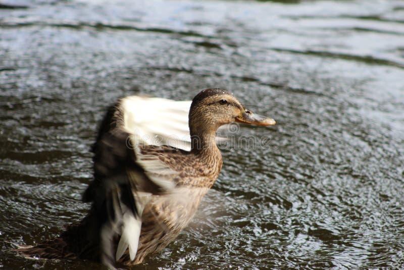 Kaczka, jezioro, natura kaczka w wodzie obrazy stock