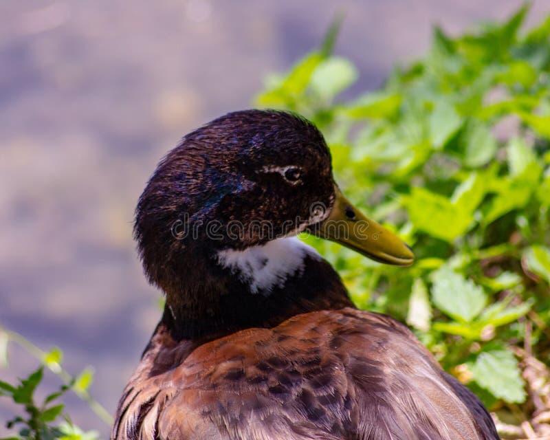 Kaczka lub anitra, od Łacińskich anas jesteśmy pospolitym imieniem znacząco liczba anseriform ptaki, ogólny emigracyjna, belongin zdjęcia stock