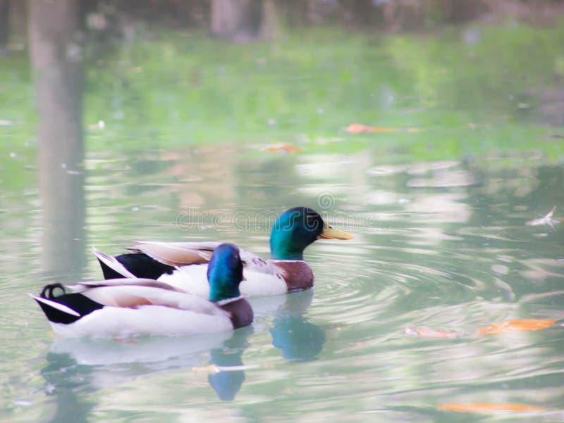 Kaczka lub anitra, od Łacińskich anas jesteśmy pospolitym imieniem znacząco liczba anseriform ptaki, ogólny emigracyjna, belongin zdjęcie royalty free