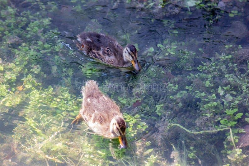 Kaczka lub anitra, od Łacińskich anas jesteśmy pospolitym imieniem znacząco liczba anseriform ptaki, ogólny emigracyjna, belongin fotografia royalty free
