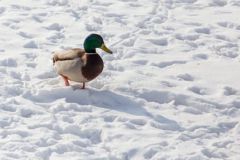 Kaczka na białym śniegu w zimie obrazy royalty free