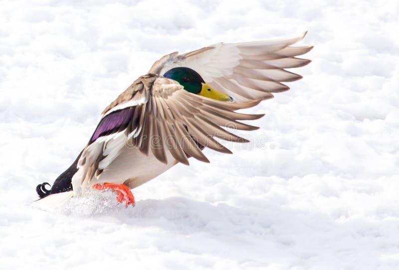 Kaczka na białym śniegu w zimie obraz royalty free