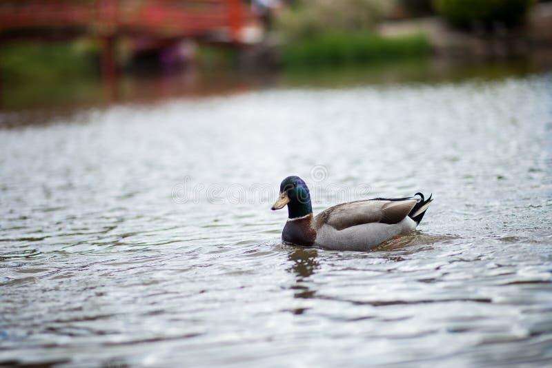 Kaczka na jeziorze obrazy royalty free