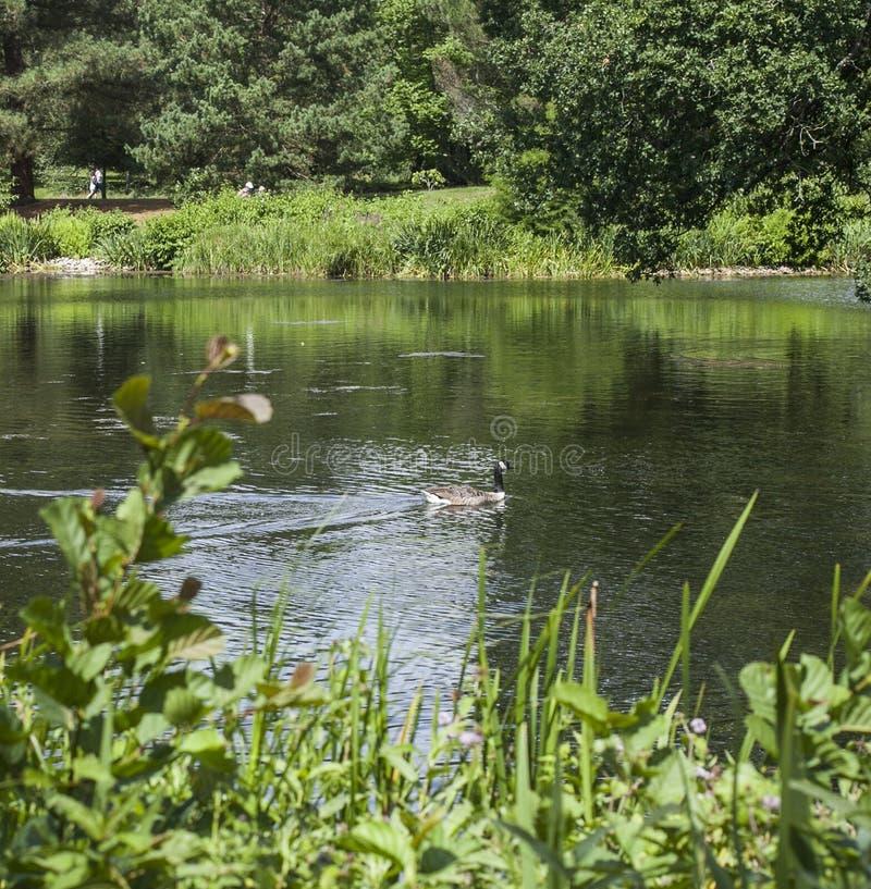 Kaczka na jeziorze, Kew ogródy, Londyn obraz royalty free