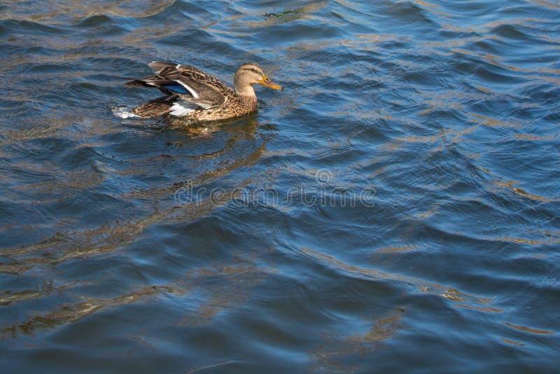 Kaczka na stawie femaleness Światło słoneczne na wodzie Wiosna Nieznacznie nastroszeni skrzydła zdjęcia royalty free