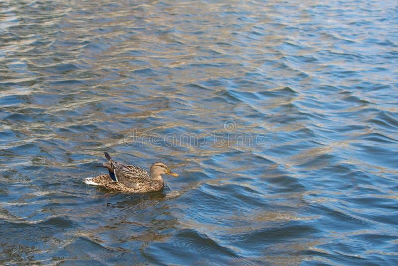 Kaczka na stawie femaleness Światło słoneczne na wodzie Wiosna Nieznacznie nastroszeni skrzydła zdjęcie stock