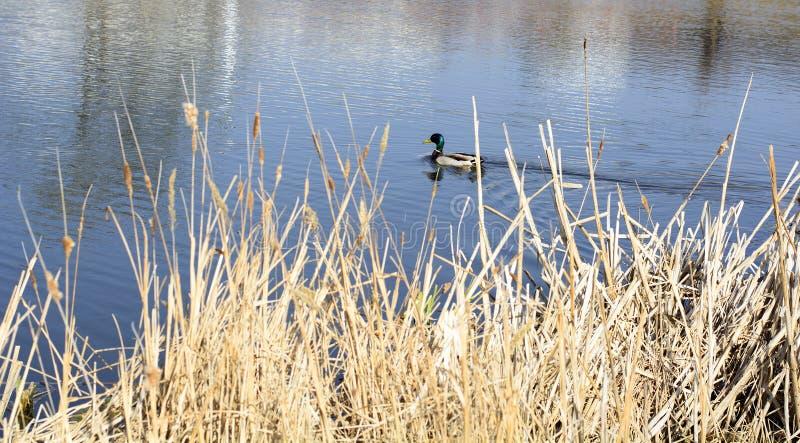 Kaczka pływa w stawie park obrazy royalty free