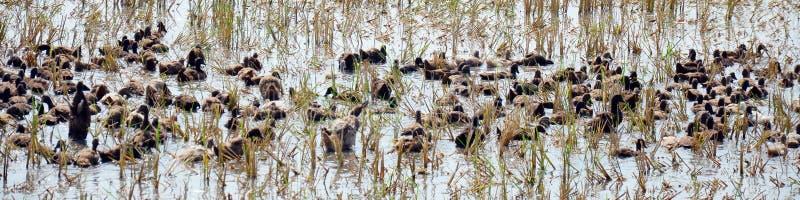 Kaczka pościg pola motłoch w Pathumthani Tajlandia zdjęcia stock