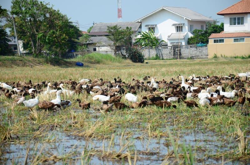 Kaczka pościg pola motłoch w Pathumthani Tajlandia zdjęcia royalty free