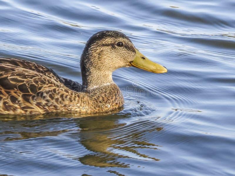 Kaczka przy El Dorado jeziora parkiem zdjęcia stock
