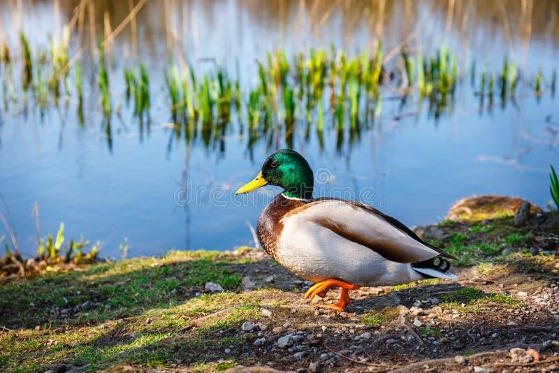 Kaczka stojaki na krawędzi jeziora obraz stock
