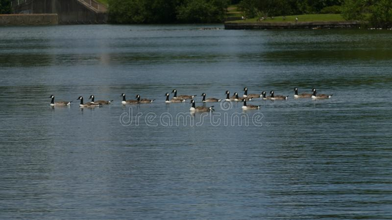 Kaczka Toczny puszek jezioro beztroski obraz royalty free