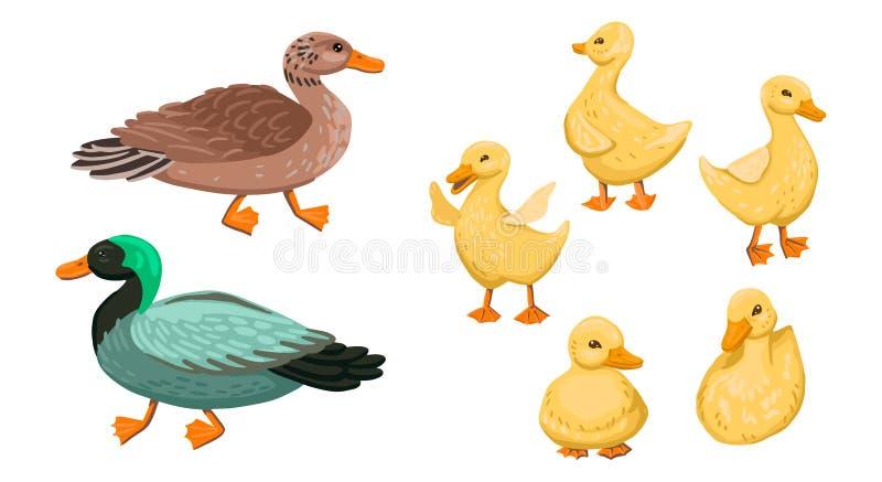 Kaczka Ustawiać małe kaczki z rodzicami, drake i kaczki Ilustracja rysunkowa wektora obraz stock