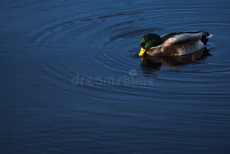 Kaczka w jeziorze obraz stock