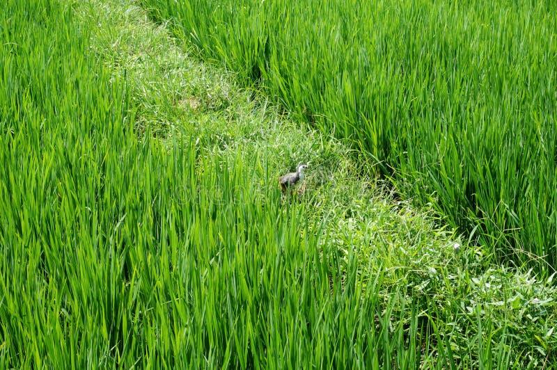 Kaczka w ryżowym polu zdjęcia royalty free